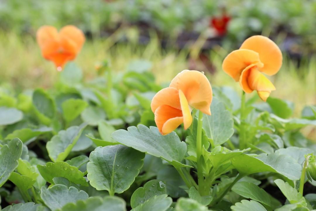 İlkadım Belediyesi 100 Bin Çiçek'i Toprakla Buluşturdu!